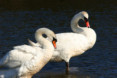 Swans, Forever Together,. Male and female pair of swans,  standing in water and curving their necks Royalty Free Stock Images