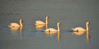 Swans in Formation Stock Image