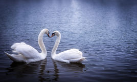Swans forming a heart shape with their necks. In serpentine lake in London royalty free stock photography
