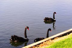 Swans at the Formula 1 race track in Albert Park, Melbourne, Australia. Black swans at the Formula 1 race track in Albert Park, Melbourne, Australia Stock Photos