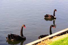 Swans at the Formula 1 race track in Albert Park, Melbourne, Australia. Black swans at the Formula 1 race track in Albert Park, Melbourne, Australia Royalty Free Stock Image