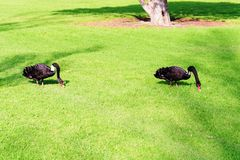Swans at the Formula 1 race track in Albert Park, Melbourne, Australia. Black swans at the Formula 1 race track in Albert Park, Melbourne, Australia Royalty Free Stock Photos