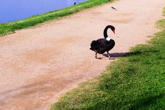 Swans at the Formula 1 race track in Albert Park, Melbourne, Australia. Black swans at the Formula 1 race track in Albert Park, Melbourne, Australia Royalty Free Stock Photo