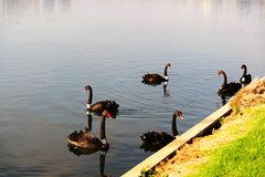 Swans at the Formula 1 race track in Albert Park, Melbourne, Australia. Black swans at the Formula 1 race track in Albert Park, Melbourne, Australia Stock Images