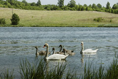 Swans friendly family in the lake in sunny summer day Stock Image