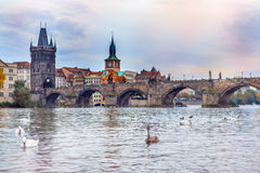 Swans in front of the Charles bridge Royalty Free Stock Images