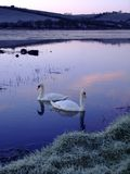Swans on Frozen Lake. Two swans on a partially frozen lake just before sunrise Royalty Free Stock Photo