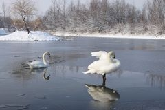 Swans on frozen lake Stock Photos