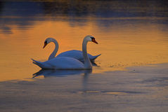 Swans on frozen lake. A view of two stately swans sitting on ice on a frozen lake at sunrise Stock Photography