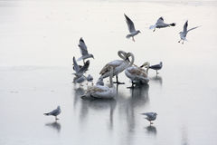 Swans on the frozen lake. Surrounded by flying gulls Royalty Free Stock Images