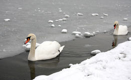Swans in a frozen lake Royalty Free Stock Photos