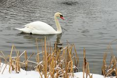 Swans on the frozen lake in winter. The birds catch fish in the winter. royalty free stock photos