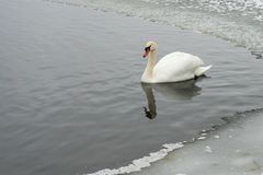 Swans on the frozen lake in winter. The birds catch fish in the winter. royalty free stock photography