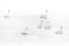 Swans on a frozen lake in winter. Six swans on a frozen lake in winter stock image