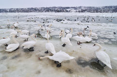 Swans on frozen river. Group of the swans on the frozen river Stock Photography
