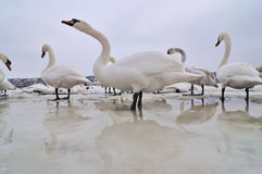 Swans on frozen river. Group of the swans on the frozen river Royalty Free Stock Photo