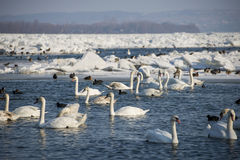 Swans on frozen river Danube. In Serbia Stock Photography