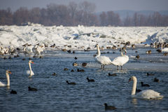 Swans on frozen river Danube. In Serbia Royalty Free Stock Photography