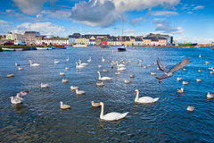 Swans in Galway Bay, Ireland. Swans in Galway Bay in front of old Galway Town and it's pastel buildings Royalty Free Stock Photo