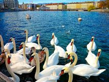SWANS GATHERING IN LAKE GENEVA SWITZERLAND Stock Photos