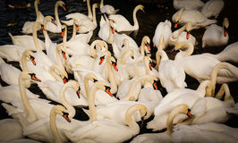 Swans are gattering in the middle of the flock. Adult swans gattering. concept of acceptance, social life, protection picture taken with vignetting style Royalty Free Stock Image
