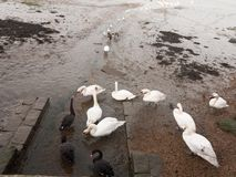 swans, geese, birds, ducks seaside animals tide out coast landscape sand mud mudflat royalty free stock photography