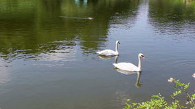 Swans And Geese On The Pond. Beautiful Swans And Geese swimming On The Pond stock footage