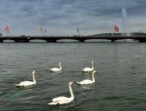 Swans on Geneva Lake and fountain Jet d`Eau at the background,. Geneva, Switzerland stock photos