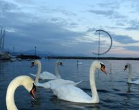 Swans on Geneva Lake in Lausanne, Switzerland.  Royalty Free Stock Photos