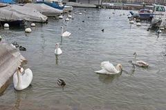 Swans on Geneva lake. Switzerland Royalty Free Stock Image