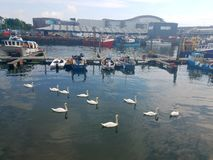 Swans gliding along the water in England in front of fishing boats royalty free stock photo