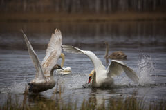 Swans are going to take off from lake Stock Photography