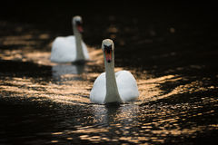 Swans On Gold Tinted Water Royalty Free Stock Images