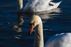 Swans during the golden hour stock images
