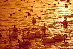 Swans in golden sunset water Royalty Free Stock Photography