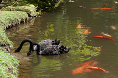 Swans and goldfish Royalty Free Stock Images