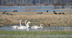 Swans and goose, Lithuania Stock Image