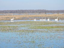 Swans and goose, Lithuania Stock Photography
