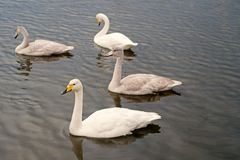 Free Swans Gorgeous On Grey Water Surface. Animals Natural Environment. Waterfowl With Offspring Floating On Pond. Swans Stock Photography - 157061932