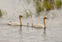 Swans with gosslings Stock Images