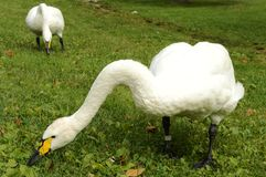Swans Grazing Grassland stock photos