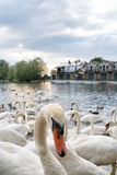 Swans group. A group of swans in Windsor, England Royalty Free Stock Images