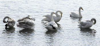 Swans. A group of swans are resting on the lake Stock Photo
