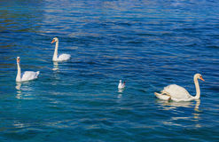 Swans and a gull on Lake Geneva Stock Photo