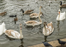 Swans, gulls and ducks swimming Royalty Free Stock Images