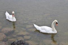 Swans. In Hallstätter See in Hallstatt, Austria Stock Image