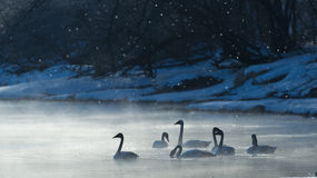 Swans in the frost Royalty Free Stock Images