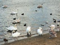 Swans. Having siesta Stock Image