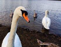 Swans head close up looking at the camera. stock photo