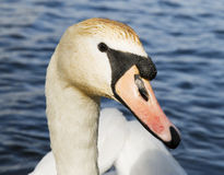 Swans head Royalty Free Stock Photography